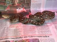 Mainland retic forsale