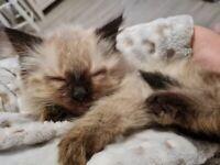 Female ragdoll cross kitten - READY NOW
