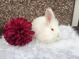 Angora Female Rabbit Needing New Home