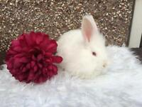 Angora Female Rabbit Needing New Home