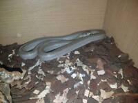 Snake with full set up