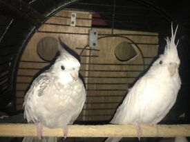 3 cockatiels for sale with cage £130