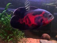 2x Oscar fish