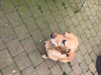 Ekc reg labrador pup for sale