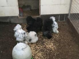 Painted silkies. Poultry bantams
