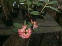 "RHODODENDRON ""SUNFIRE"" EVERGREEN FLOWERING GARDEN/PATIO POTTED SHRUB"
