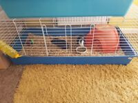 Selling guinea pigs