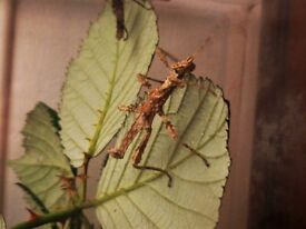 Thorny Stick Insects. £1.50 each. Fascinating and easy to keep