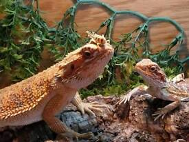 2 bearded dragons with 3ft evo set up