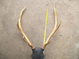 Set of Deer Antlers - great hall decoration and talking point (sic)!