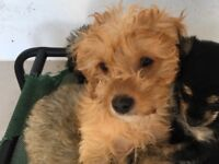Gorgeous Red F1b Cavapoo (Male puppies) READY NOW