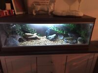 Bearded dragon with full set up.