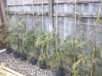 20 x 5ft leylandii trees in pots ready for planting out