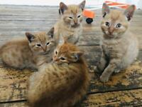 Ginger kittens