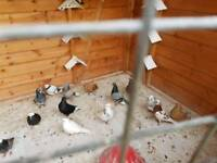 Pigeons. Birmingham rollers