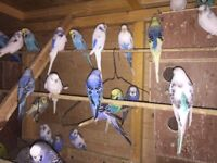 Young Budgies For Sale - Prestonpans