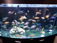 Malawi Peacocks Aquarium Fish