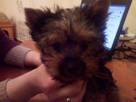 Mini Dog Show puppy