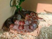 4ft corn snake with vivarium and accessories