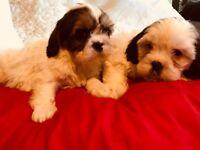 Cavashon puppies
