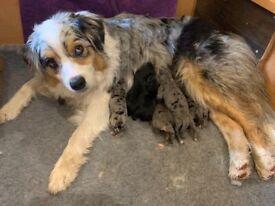 Australian retriever pups