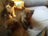 Kittens for sale . Ready to go now