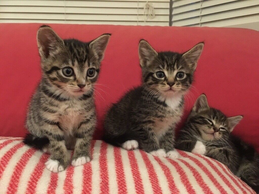 Bengal Cross Kittens In Thornton Heath London Gumtree