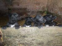 deerhound kc reg pups boys and girls