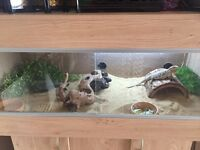 Bearded Dragon & Large Vivarium (Full Set Up)