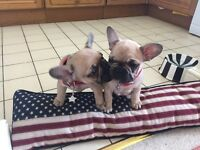 French Bulldog puppy KC Reg