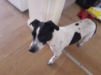 Male jack russel 3 years old loving friendly