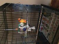 Sun conure for sale