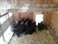 Black Peking bantam chicks