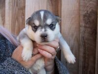 Siberian Husky Pups KC registered Ready to Leave...