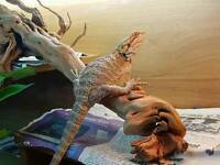 6month old bearded dragon for sale complete with full set up