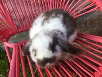 Gorgeous mini lop baby rabbits