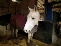 "Beautiful 15""2 horse for loan"