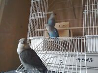 3 Peachface Lovebird chicks for sale.