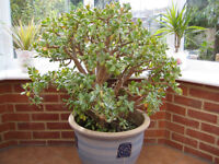 Large money plant,over one metre high with pot.