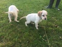 English Setter Pups for Sale (Field Trial)