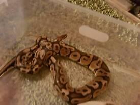 Female pastel python