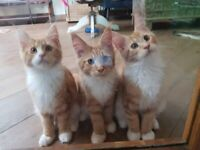 Pure breed Maine Coon kittens gingers with white