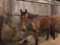 16.3hh thoroughbred gelding
