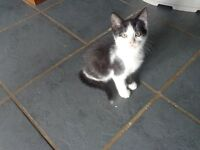 1o weeks old kittens ready to go to new forever homes 1 black white/1pure black/1 black white cheest