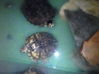 2 x terrapins for sale.
