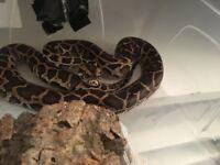 Cb July 17 female Burmese python het albino