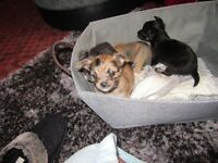 4 female chihuahua puppies for sale