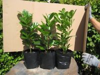 LAUREL HEDGING PLANTS.