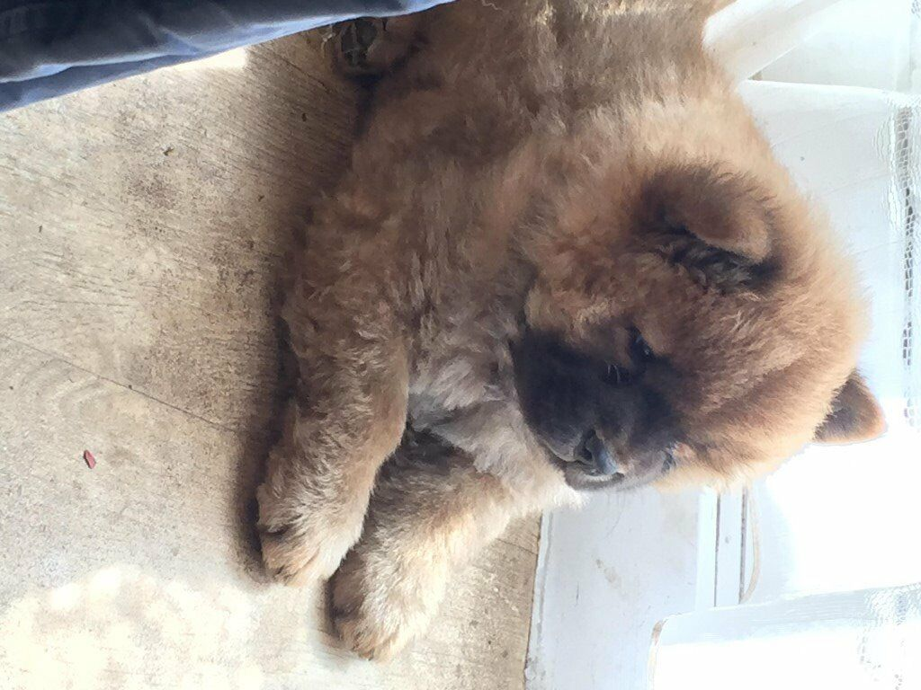FOR SALE STUNNING 10 WEEKS OLD FAWN GIRL PURE CHOW CHOW PUPPY
