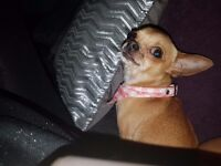 Girl chihuahua forsale